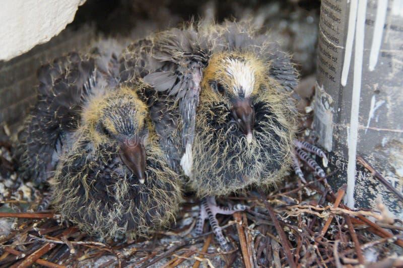 Due piccoli piccioni in un nido - Francia immagini stock
