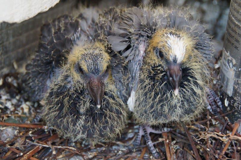 Due piccoli piccioni in un nido - Francia fotografia stock