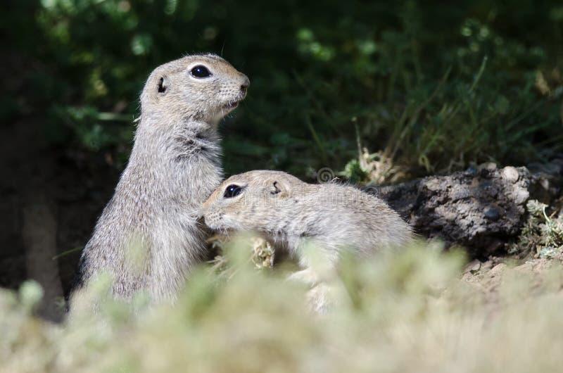 Due piccoli scoiattoli a terra attenti che stanno guardia Over Their Home immagini stock libere da diritti