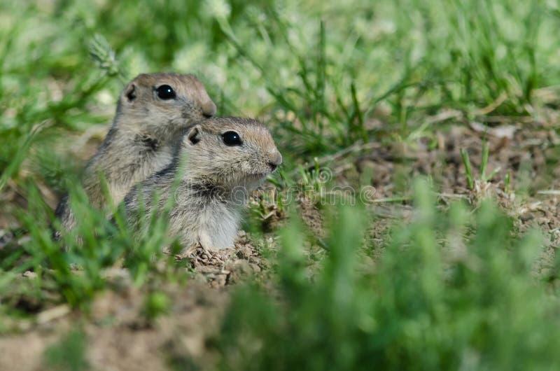 Due piccoli scoiattoli a terra che danno una occhiata sopra il bordo della sua casa fotografie stock