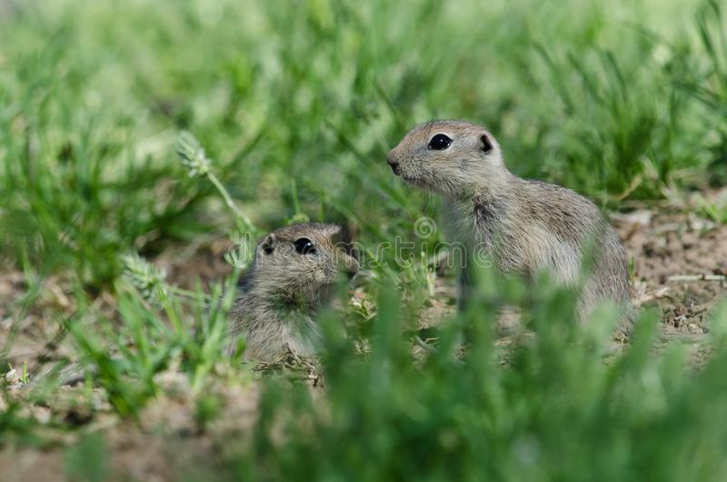 Due piccoli scoiattoli a terra che danno una occhiata sopra il bordo della sua casa fotografia stock