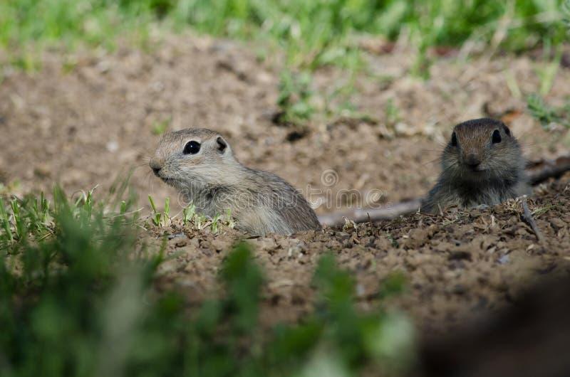 Due piccoli scoiattoli a terra che danno una occhiata sopra il bordo della sua casa immagine stock libera da diritti