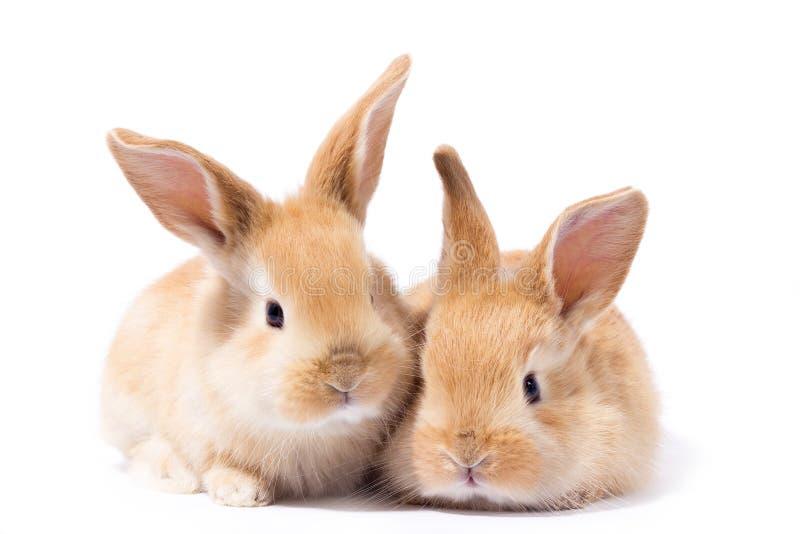 Due piccolo coniglietto rosso lanuginoso, isolato fotografia stock libera da diritti