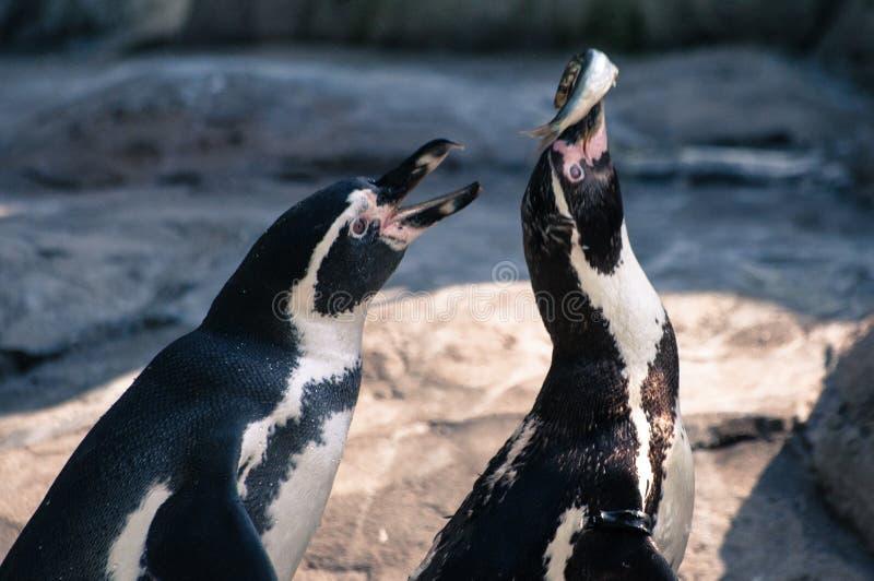 Due pinguini che combattono sopra un pesce al parco zoologico immagini stock