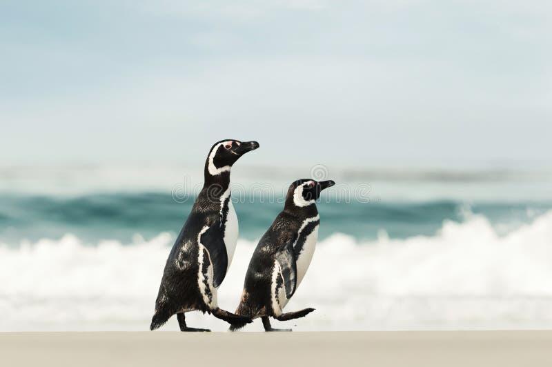 Due pinguini di Magellanic che camminano su una spiaggia sabbiosa immagini stock libere da diritti