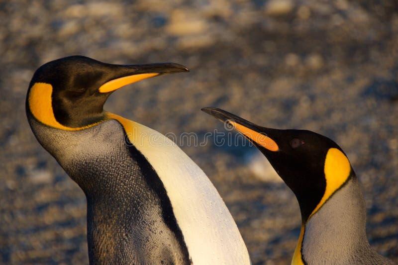 Due pinguini di re che discutono al ` s di St Andrew abbaiano in Georgia del Sud immagini stock