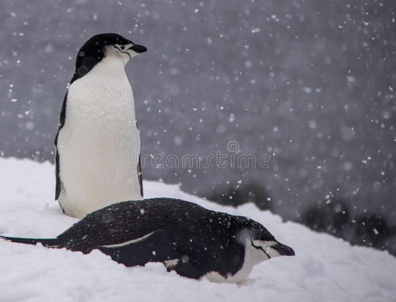 Due pinguini di sottogola che riposano in Antartide fotografia stock libera da diritti