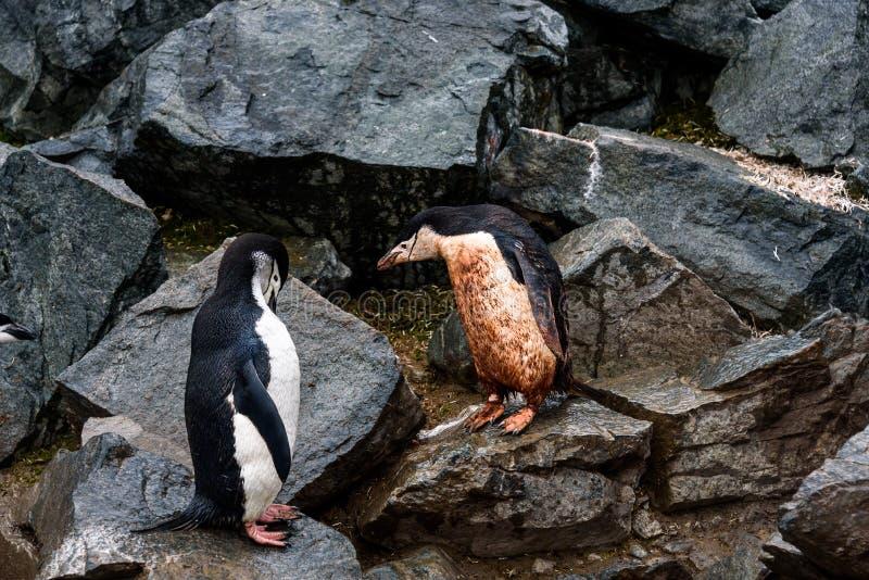 Due pinguini di sottogola, uno fangoso ed uno pulito, saltando gi? la strada principale del pinguino su un rockslide, isola della fotografie stock libere da diritti