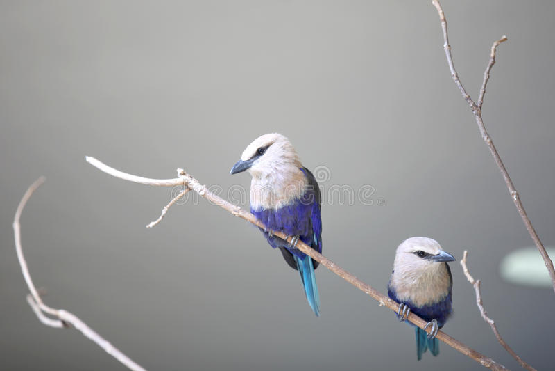 Due pochi uccelli di cyanocitta cristata fotografia stock