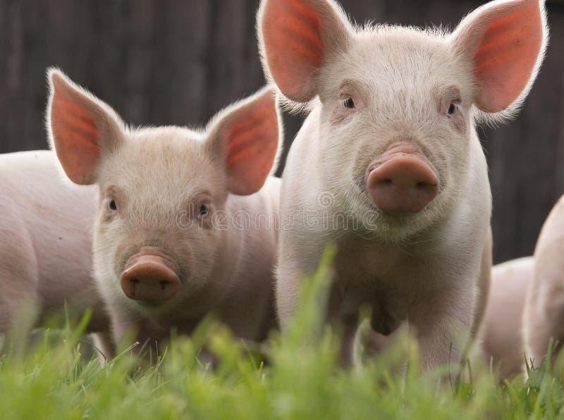 Due porcellini curiosi fotografia stock