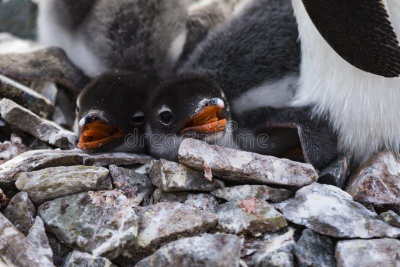 Due pulcini e rocce del pinguino di Gentoo fotografie stock