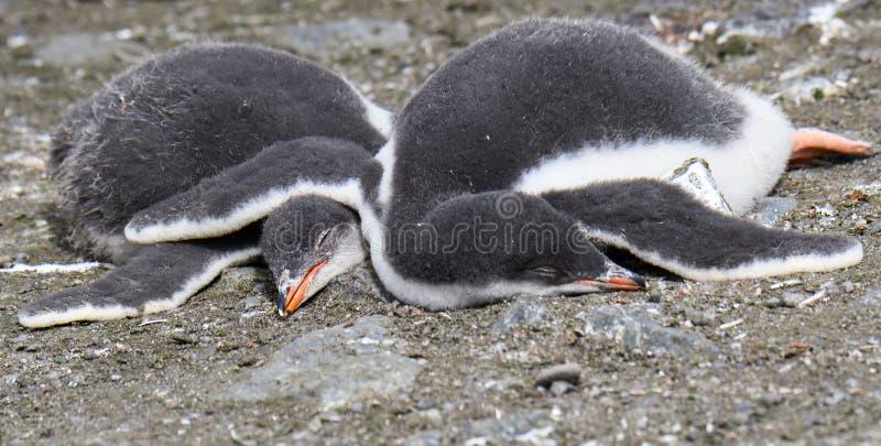 Due pulcini svegli del pinguino di Gentoo che dormono a braccetto sulla terra, isole di Aitcho, isole Shetland del sud, Antartide immagini stock