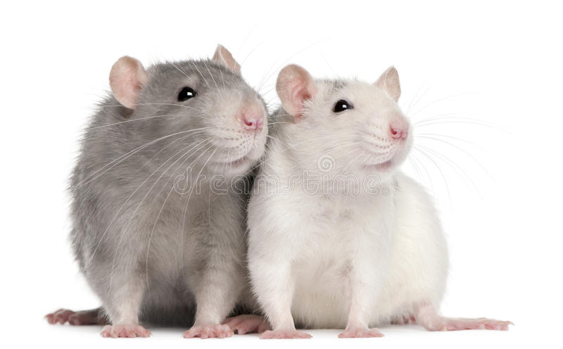 Due ratti, 12 mesi fotografia stock
