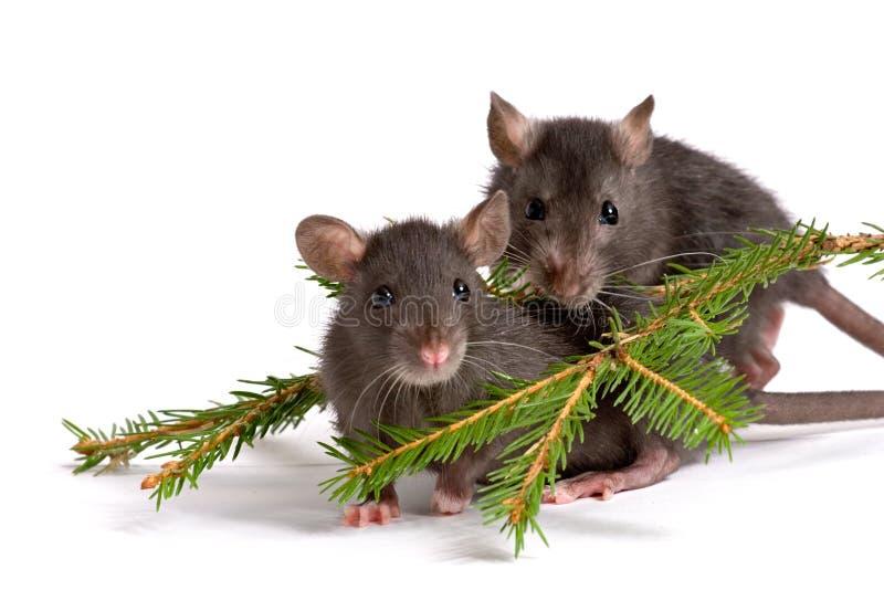 Due ratti fotografia stock libera da diritti