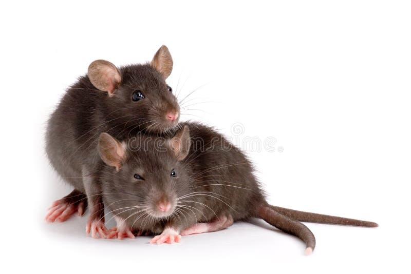 Due ratti immagini stock