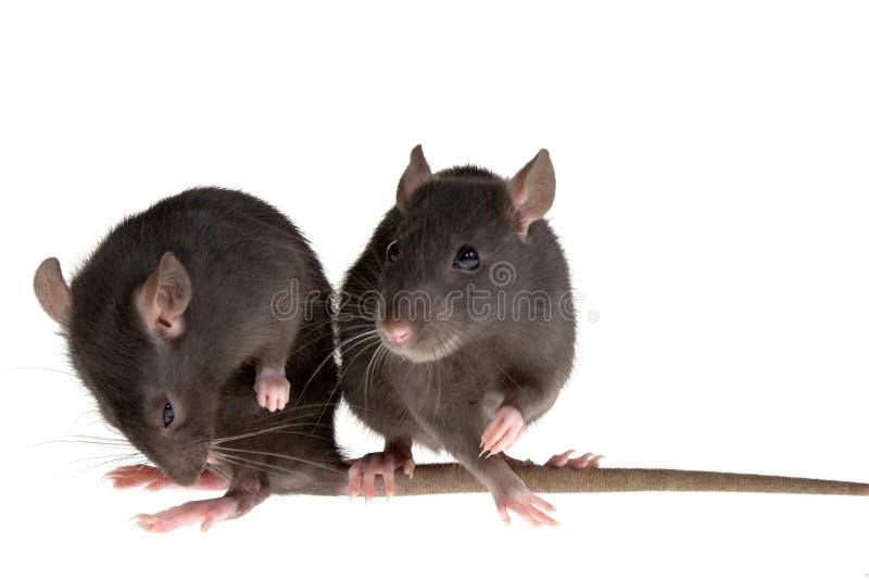 Due ratti fotografia stock