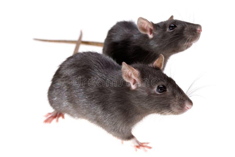 Due ratti divertenti fotografie stock