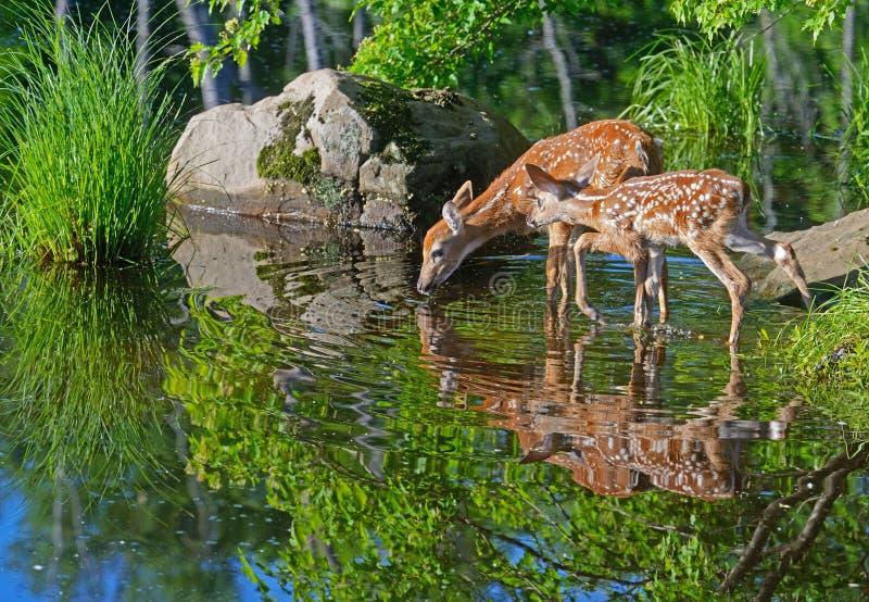 Due riflessioni dell'acqua dei cervi dalla coda bianca del bambino fotografie stock libere da diritti