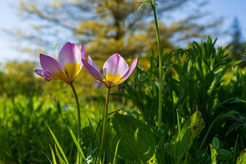 Due rosa soleggiato e tulipani gialli che crescono parallelamente immagini stock