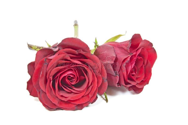 Due Rose Buds rossa appassente su fondo bianco immagini stock