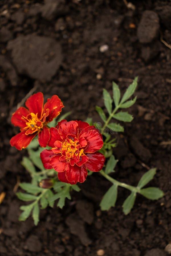 Due rossi e fiori gialli fotografia stock