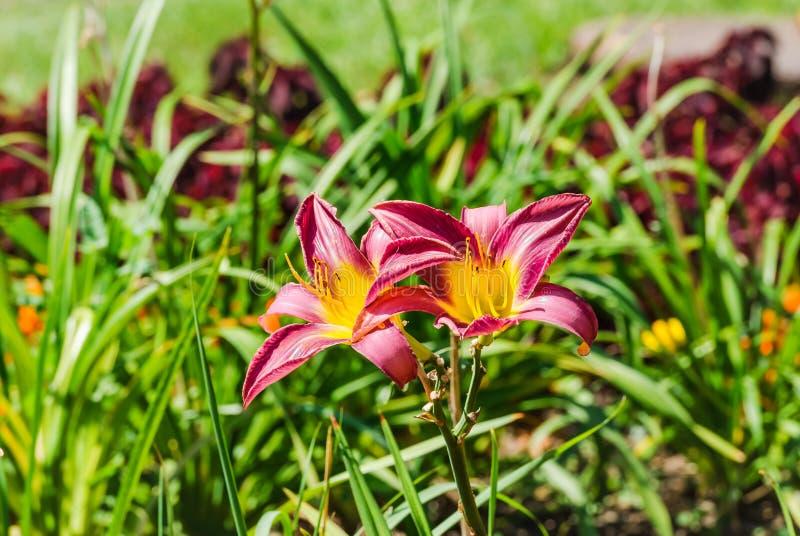 Due rossi e fiori gialli dell'emerocallide fotografia stock