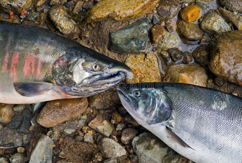 Due salmoni 3 fotografia stock