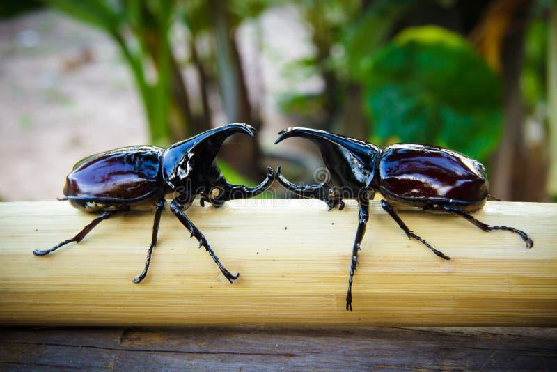 Due scarabei di maschio immagine stock libera da diritti