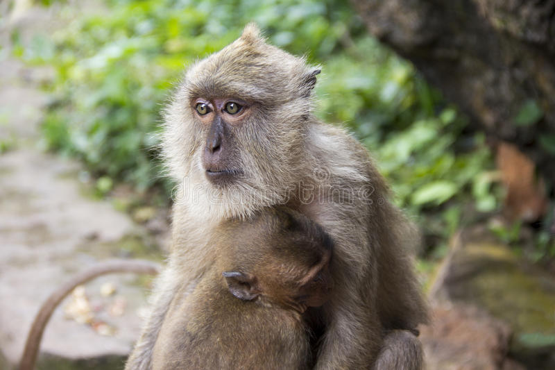 Download Due scimmie immagine stock. Immagine di scimmie, madre - 56881055