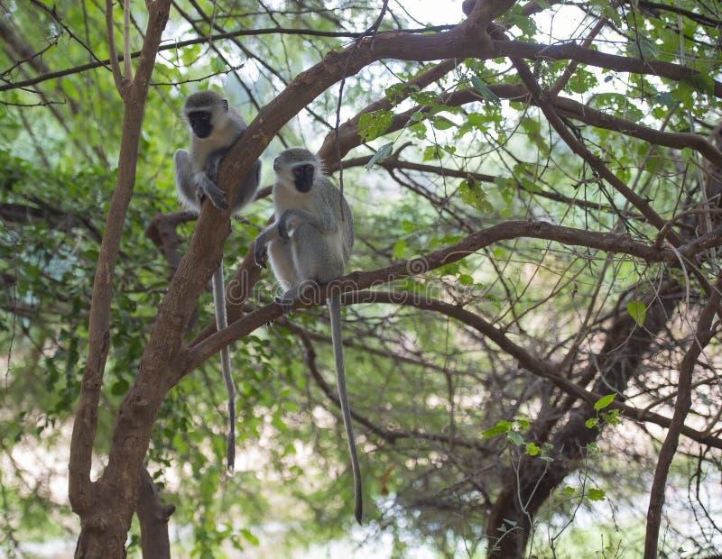 Due scimmie di vervet fotografia stock