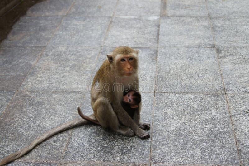 Due scimmie, fare da baby-sitter per dare ad un bambino sveglio latte immagini stock libere da diritti