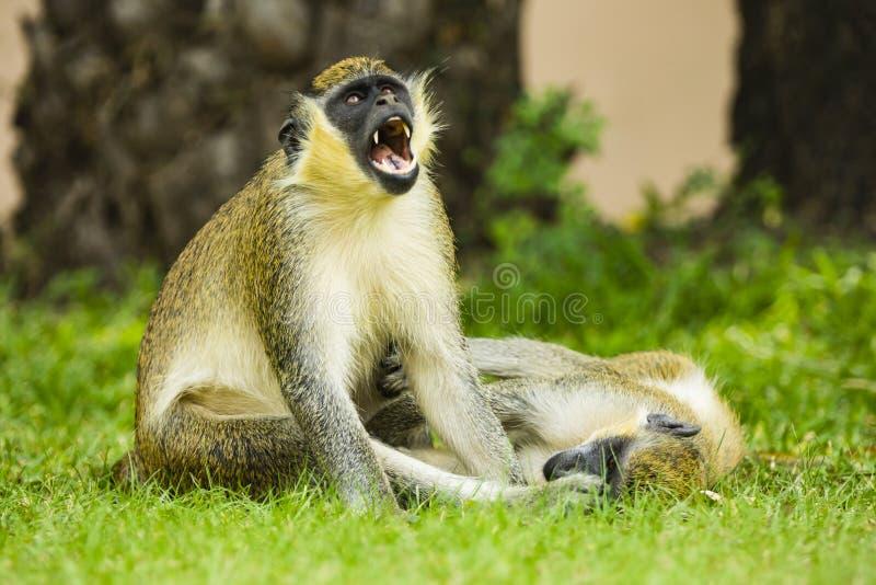 Due scimmie, una gridanti, una che si trova nell'erba fotografia stock