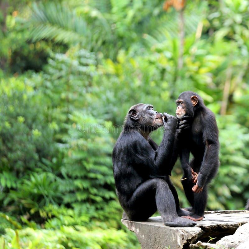 Due scimpanzè fotografia stock