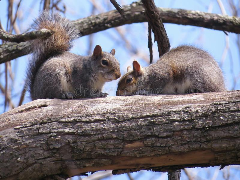 Due scoiattoli che riposano su un ramo di albero fotografia stock