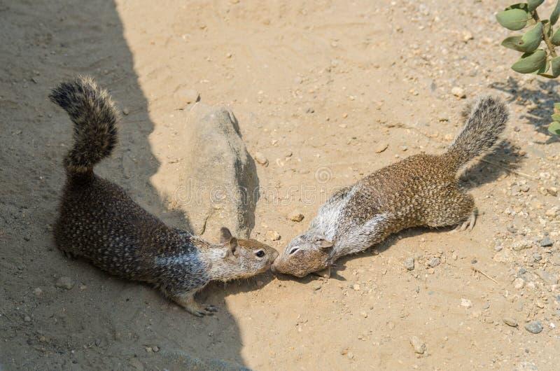Due scoiattoli che si baciano immagine stock libera da diritti