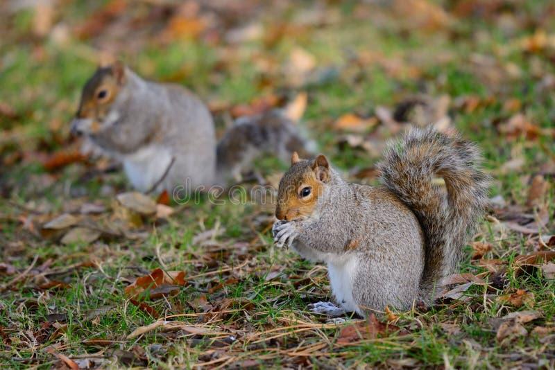 Due scoiattoli che si siedono sull'erba immagine stock libera da diritti