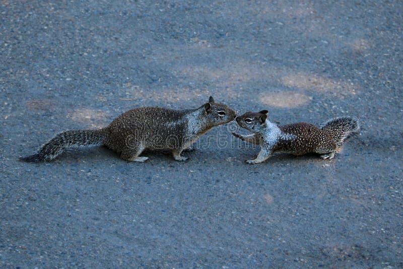 Due scoiattoli grigi che baciano su una pista nel parco immagini stock