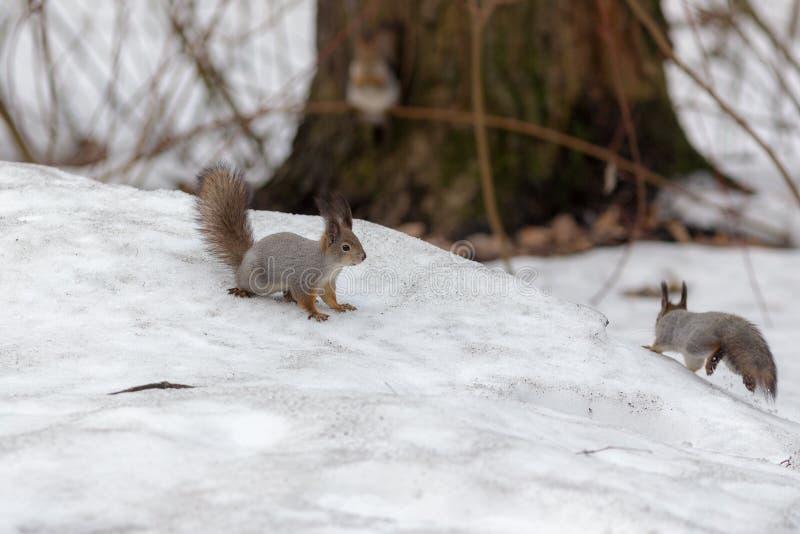 Due scoiattoli in primavera immagini stock libere da diritti