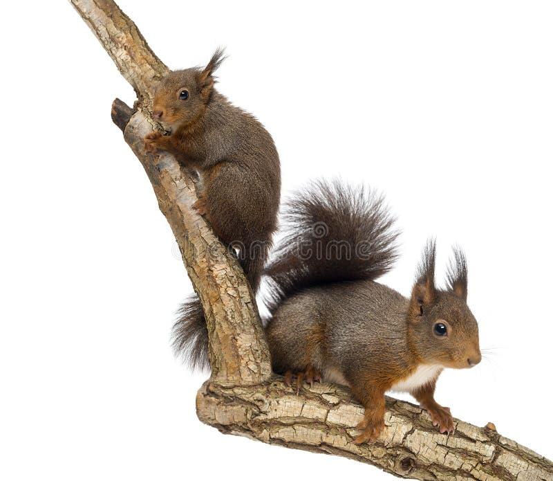 Due scoiattoli rossi che scalano su un ramo, isolato fotografia stock