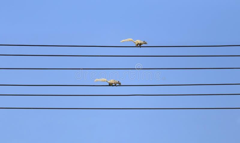 Due scoiattoli stanno correndo sui cavi e sul fondo neri del cielo blu immagini stock