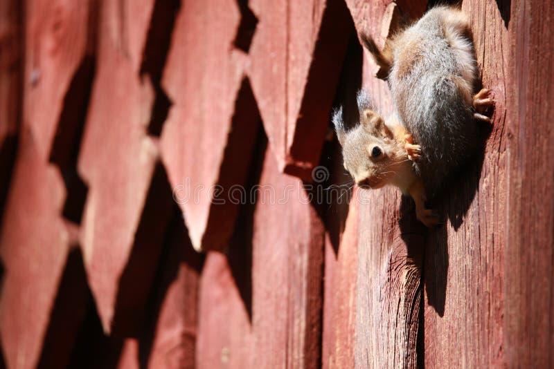 Due scoiattoli stanno giocando vicino al drey immagine stock libera da diritti