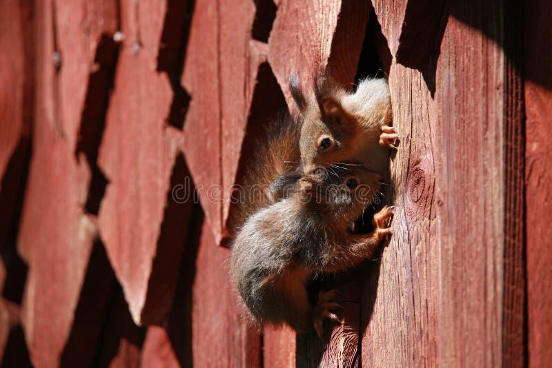 Due scoiattoli stanno giocando vicino al drey fotografia stock libera da diritti