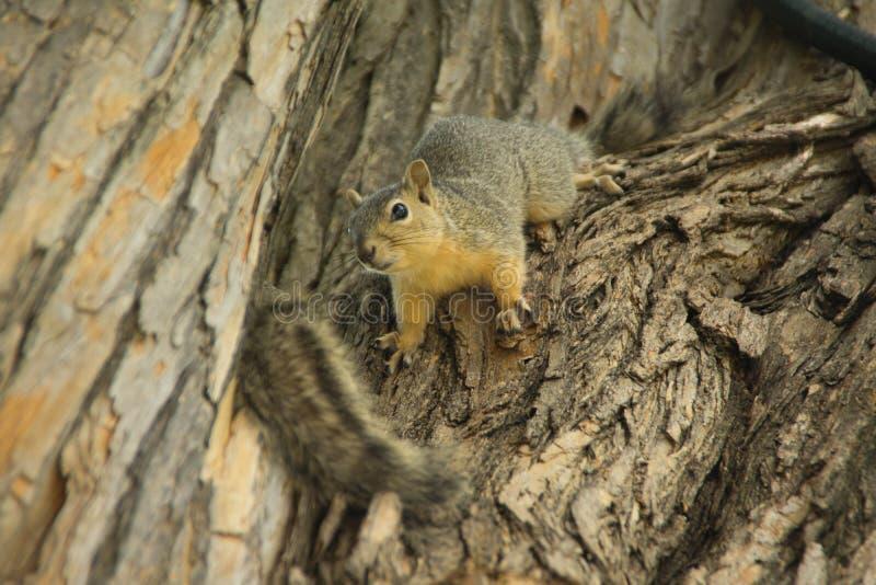 Due scoiattoli svegli sull'albero immagini stock