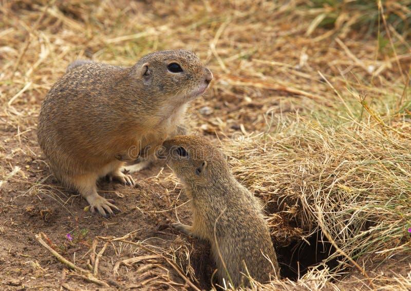 Due scoiattoli a terra immagini stock libere da diritti