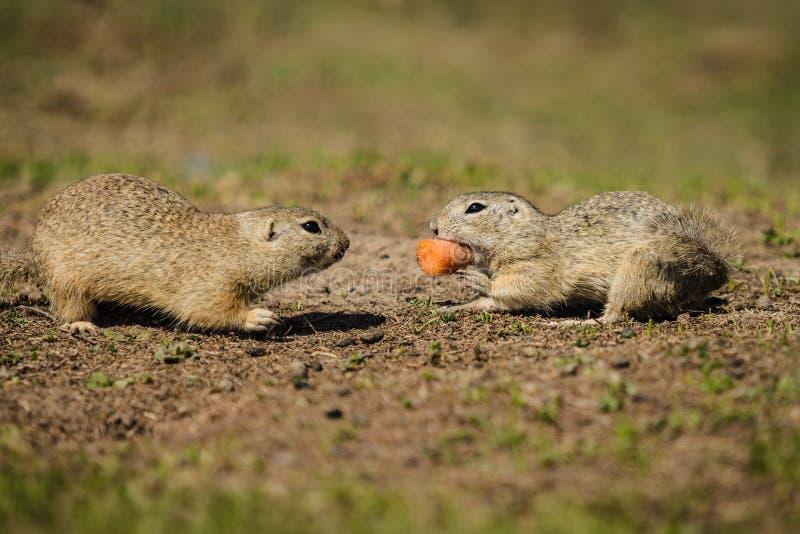 Due scoiattoli a terra marroni che combattono sopra un pezzo di carota arancio immagini stock