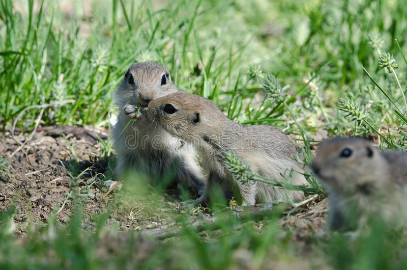 Due scoiattoli a terra svegli che dividono un pasto succulento fotografia stock libera da diritti