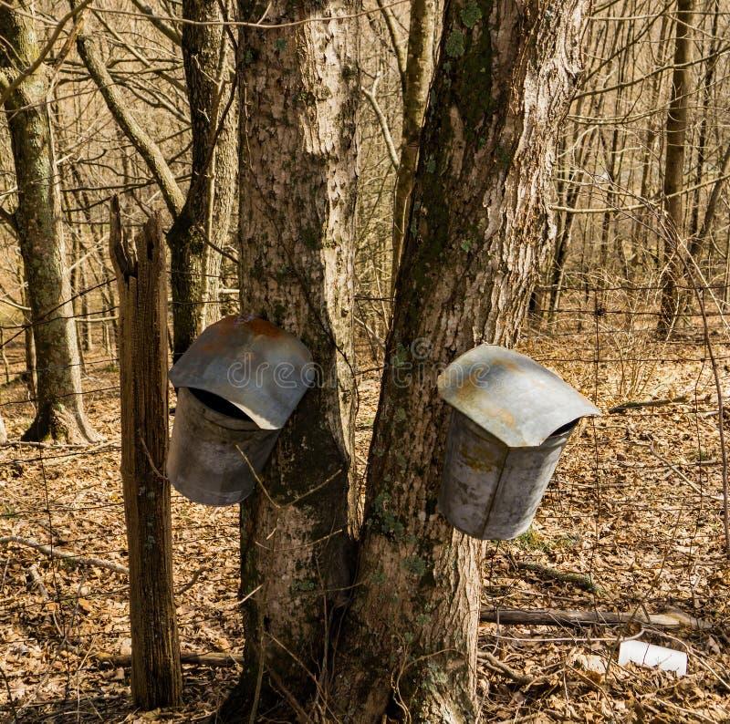 Due secchi sull'albero di acero che raccoglie linfa fotografie stock