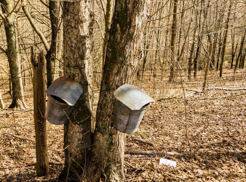 Due secchi sull'albero di acero che raccoglie linfa - 2 fotografia stock libera da diritti