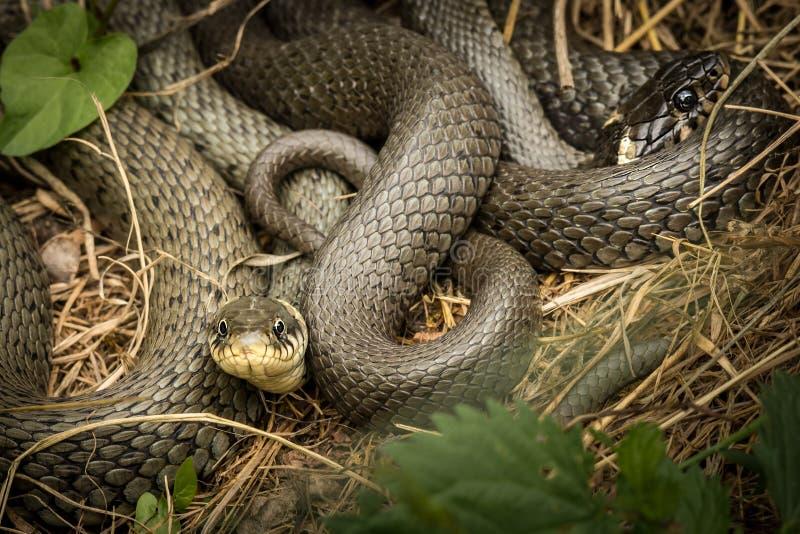 Due serpenti di erba intrecciati che si trovano al sole immagini stock libere da diritti