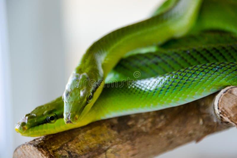 Due serpenti verdi: oxycephalum verde rosso-munito di Gonyosoma del ratsnake fotografia stock libera da diritti